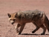 andean-fox