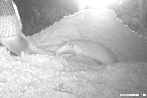 0219-closeup-1-giant-armadillo-baby-credit-pantanal-giant-armadillo-project-baia-das-pedras-568
