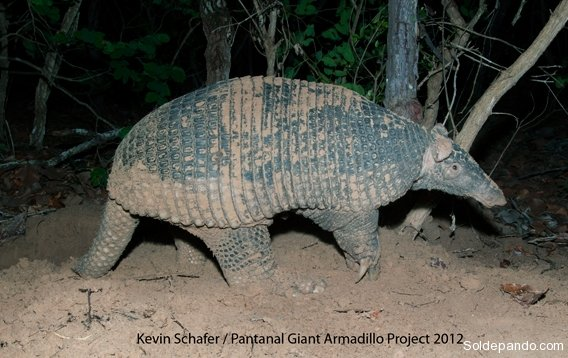 0219-giant-armadillo-credit-kevin-schafer-pantanal-giant-armadillo-project-568