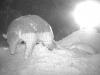 0219-1-giant-armadillo-baby-credit-pantanal-giant-armadillo-project-baia-das-pedras-568