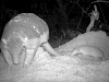0219-2-giant-armadillo-baby-credit-pantanal-giant-armadillo-project-baia-das-pedras-568