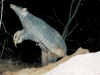 0219-standing-giant-armadillo-credit-kevin-schafer-pantanal-giant-armadillo-project-568