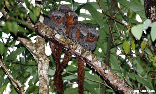 GALERÍA | Especies amazónicas en riesgo