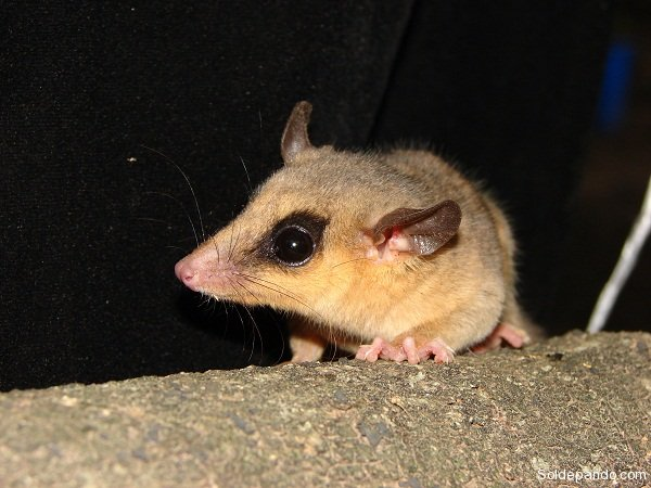 pequena-carachupa-micoureus-sp