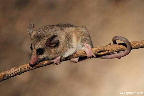 pequena-carachupa-thylamys-sp