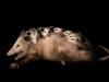 Didelphis-marsupialis-con-crias