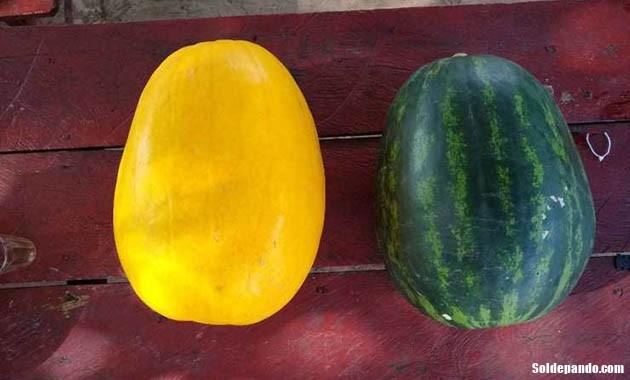 GALERÍA | Sandía parecida a un gran melón