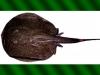 potamotrygon-tatianae