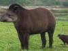 el-tapir