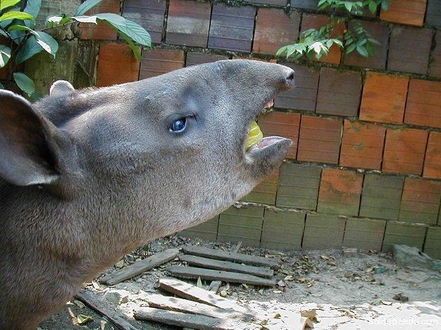 El Tapirus kabomani en Pando.   Foto: V.A. Vos