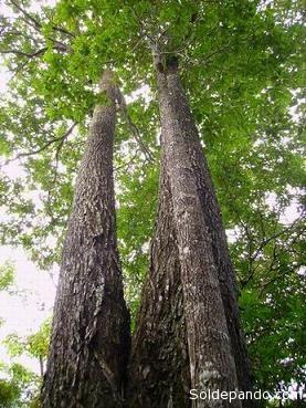 El castañar, un árbol protegido que sin embargo es talado con fines dolosos por los depredadores del bosque.