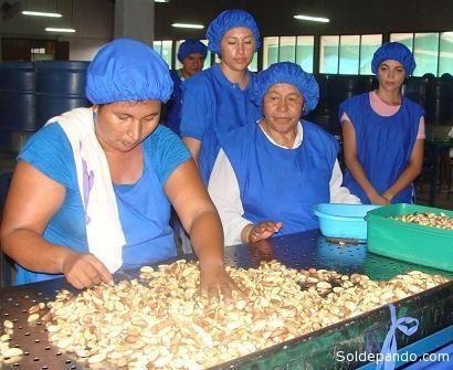 Trabajadoras fabriles de la castaña, en la Amazonia boliviana.