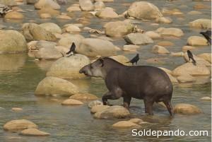 Tapir amazónico en el río Madidi.   Foto WCS.