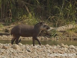 El tapir amazónico tiene un papel fundamental en la dispersión de semillas.    Foto WCS.