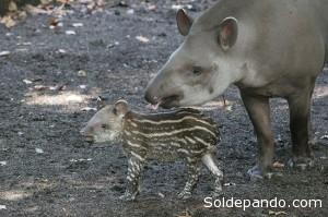 El ciclo reproductivo del tapir es uno de los más largos: la gestación dura 14 meses.