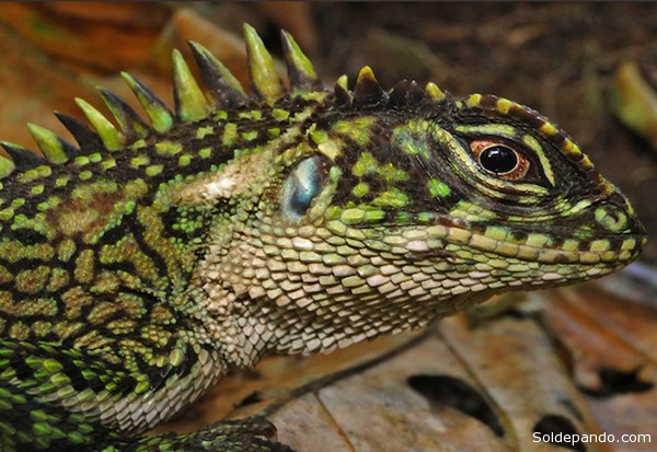 La lagartija Enyalioides Binzayedi, presenta crestas enormes que lo asemejan a un dragón en miniatura.   Foto Pablo Venegas