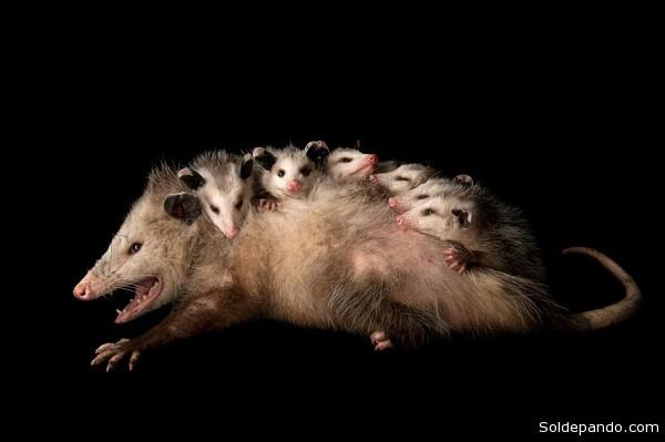 Didelphis marsupialis con crías. En Bolivia existen alrededor de 32 especies de marsupiales distribuidas en varias regiones y ecosistemas, en los que cumplen varios roles ecológicos.  | Foto Huáscar Bustillos