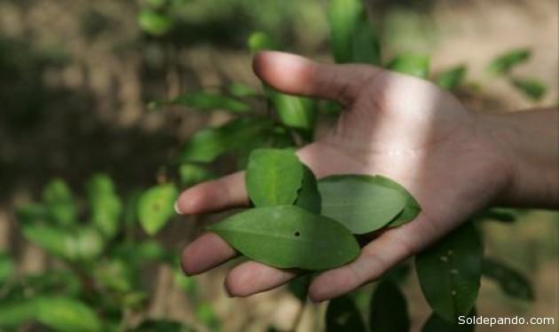 La bonanza del precio de la coca en el mercado negro llevó a los cocaleros usar químicos que  incrementó volúmenes pero dañó el producto.
