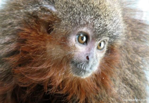 El mono tití de Caquetá, Callicebus caquetensis, tiene como una de sus características más notables entre sus crías que cuando se sienten muy contentas ronronean como los gatos. | Foto EFE