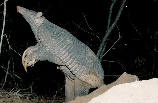 El armadillo gigante erguido muestra sus garras y caparazón. | Foto Kevin Schafer