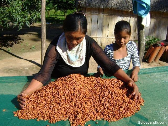 El cacao amazónico de Bolivia recibe el reconocimiento internacional por la pureza de su origen.