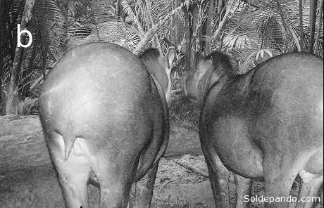Una pareja de Tapirus kabomani registrados en su habitat gracias a los indígenas Paumarí | Foto: http://www.asmjournals.org/doi/full/10.1644/12-MAMM-A-169.1