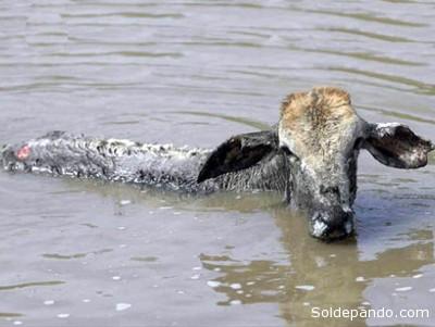 Las riadas destruyen las alambradas, casas y corrales. Los animales pierden peso al trasladarlos de un lugar a otro. | Foto Archivo