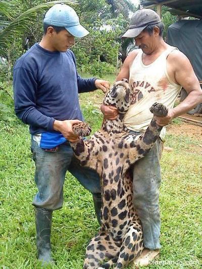 """Circula en la red una fotografía de dos personas con un jaguar que presuntamente fue cazado en Lago Agrio (Amazonia ecuatoriana). Según la cuenta de Twitter @FotoEcuador: """"Colonos de Lago Agrio cazaron un Jaguar y lo muestran como trofeo"""". Ante este tuit, el Ministerio del Ambiente, en la misma plataforma señaló: """"Estimad@s con respecto a la fotografía que está circulando en redes sociales del jaguar, comunicamos que se han tomado medidas inmediatas""""."""