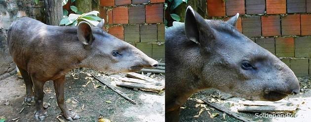 Foto completa y detalle de la cabeza de un individuo de Tapirus kabomani (probablemente un macho juvenil). Las fotos del anta fueron tomadas en 2003 de un individuo en cautiverio en Cobija, Pando. | Fotos: V.A. Vos.