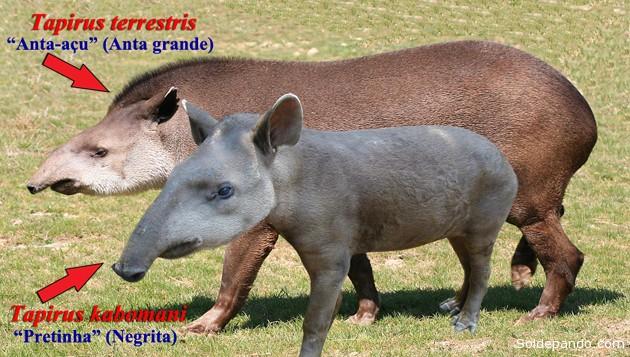 Según las descripciones del equipo de Cozzoul, el tapir kobomani es definitivamente distinto al tapir común en estructura y tamaño. Mide 130 centímetros de largo, 90 cm de alto y pesa un promedio de 110 kilogramos. En cambio el anta común  mide hasta 250 centímetros de largo y pesa hasta 300 kilogramos. El tapir más pequeño Tiene la frente más amplia y el pelo más oscuro, la melena menor inicia en una parte más alta de la frente y sus patas son proporcionalmente más cortas. | Fotomontaje Sol de Pando