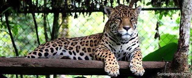 Este mamífero está en vías de extinción en el bosque tropical atlántico y en peligro en la Amazonía ecuatoriana. La pérdida de su hábitat es una de sus principales amenazas.