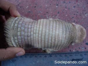 El Calyptophractus retusus mide entre 14 a 18 cm. a diferencia del Chlamyphorus truncatus cuyo largo es de 12 a 14 cm. | Foto: H Bustillos.