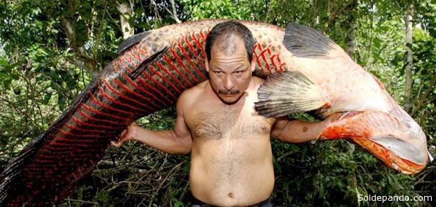 Este gigantesco pez, que puede alcanzar entre tres y cuatro metros de largo y más de 200 kilogramos, vive en toda la Amazonia. Fue introducido a Bolivia migrando desde los ríos peruanos del Madre de Dios en los años 80. 1Archivo