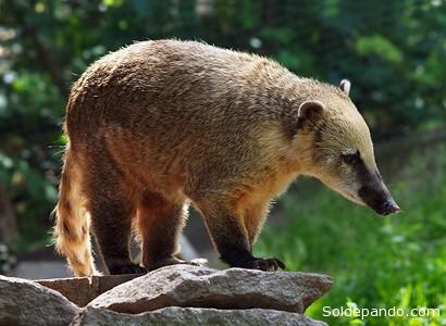"""El coatí amazónico, conocido también """"cuchucho"""" o """"mishasho"""", del género de los nasúa, mide entre 89 y 113 centímetros desde la cabeza hasta la punta de la cola, y pesa entre 3 a 7,2 kilogramos. Generalmente el macho es más grande que la hembra. Su pelaje es espeso y opaco, en la parte dorsal es de color marrón; la región ventral es de color amarillo pálido a amarillo apagado intenso. Cabeza angosta, hocico largo y móvil, la nariz ligeramente dirigida hacia arriba, negra y de apariencia húmeda. Cola larga con anillos conspicuos de color marrón amarillento. Patas delanteras con garras bastante largas, las posteriores con garras pequeñas.   Es diurno, terrestre y arborícola; vive solitario o en grupos de hasta 30 individuos, camina por el bosque con su cola levantada. Trepa a los árboles por la noche para descansar.Son animales omnívoros que comen frutas, invertebrados y vertebrados pequeños."""