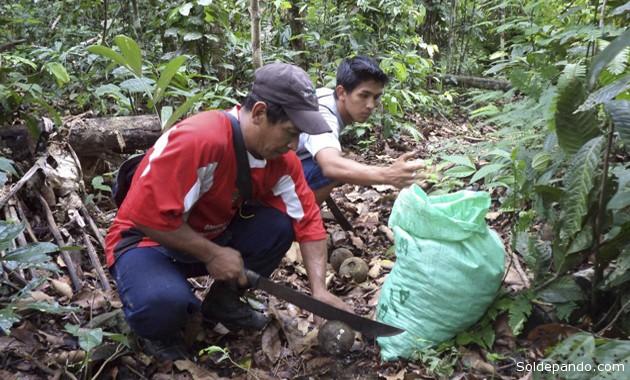 Se impone en la Amazpnia boliviana el condicionamiento para acceder al mercado internacional de productos orgánicos y obtener mejores precios por la nuez amazónica (castaña), se debe certificar que el producto es 100% orgánico. Empresas certiificadoras ligadas a redes trasnacionales, se encargan de ello.