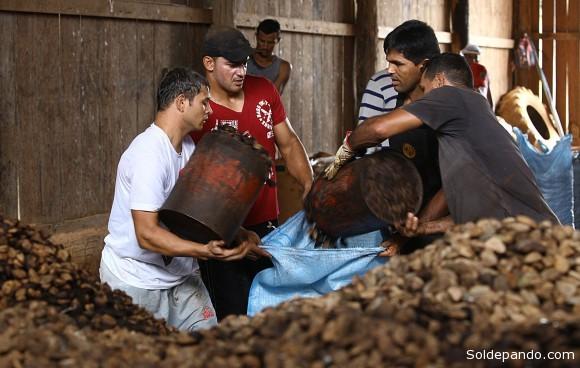 As usinas criadas pelo governo do Estado beneficiam a produção da castanha acreana | Foto Sérgio Vale