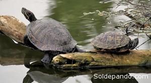 se trata de una tortuga de tamaño medio. Las hembras son más grandes que los machos (50 centímetros versus 33,5 de longitud del espaldar respectivamente), y un peso aproximada de 9-12 kilogramos.