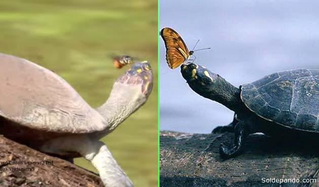 Las tortugas obtienen grandes cantidades de sal gracias a su dieta fundamentalmente carnívora, mientras que para insectos como abejas y mariposas, y la mayoría de herbívoros, la obtención de este esencial mineral resulta mucho más difícil, especialmente en la parte occidental del Amazonas, donde la sal es menos abundante que en muchos otros lugares del planeta. | Fotomontaje Sol de Pando