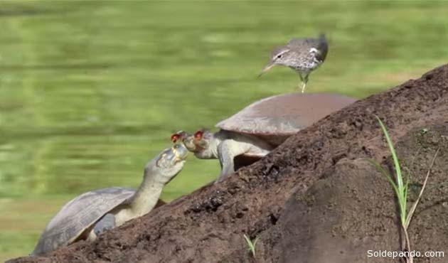 Aunque las mariposas no les hacen ningún daño, algunas tortugas se hartan de tener tantas mariposas en la cara, pero las que realmente las molestan son las abejas, probablemente por el sonido que producen sus alas.   Foto Archivo