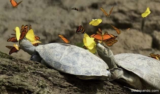 Al ser insectos herbívoros, las mariposas carecen en su dieta de algunos minerales como el sodio, por lo que evolucionaron aprendiendo a resolver esta carencia de una forma bastante extraña: bebiendo de las lágrimas de tortugas.   Foto Archivo