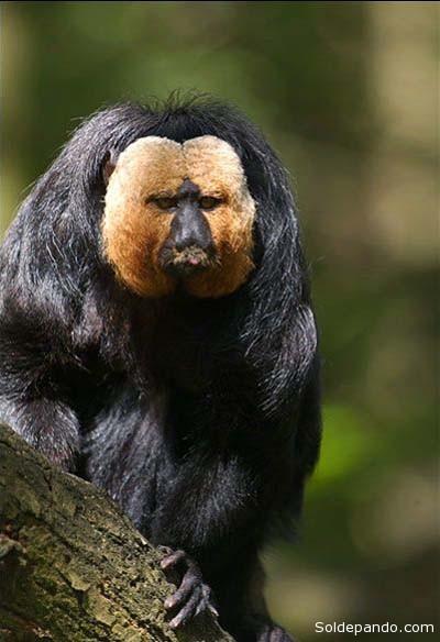 Así fue vista y fotografiada la nueva especie del mono saki en el Mato Grosso. | Foto Manoel dos Santos Filho