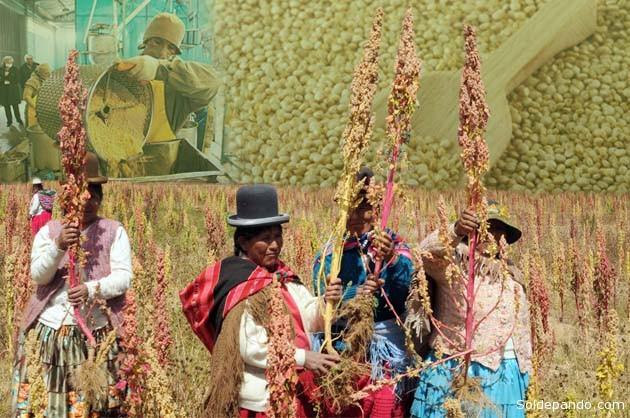 La quinua se produce mayoritariamente dentro el territorio de Oruro, donde también se la procesa en plantas fabriles, cosechándose en cultivos que traspasan los límites con Potosí. | Fotomontaje Sol de Pando