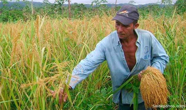 Un cultivo de arroz en región amazónica del Norte de La Paz | Foto El Diario