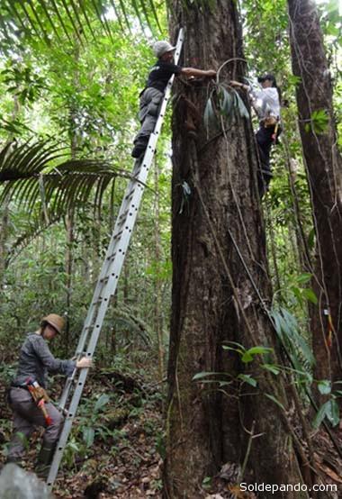 Los árboles hiperdominantes tienen más de 70 centímetros de diámetro.   Foto Maxime Réjou-Méchain