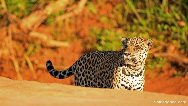 La gestión territorial indígena también evita impactos sobre el Área Protegida Municipal de Ixiamas donde se encuentran los mayores valores de diversidad de aves y plantas en el mundo, y que exhibe además una de las densidades más altas de jaguares. | Foto WCS-Bolivia