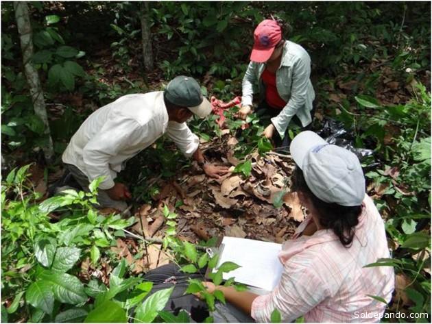 El análisis de la vegetación de herbácea fue parte del estudio para determinar la biodiversidad y la captura de carbono por los sistemas agroforestales. | Foto: CIPCA