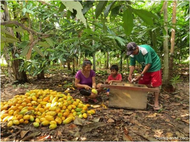 Una familia de productores desconchando el cacao de su parcela agroforestal. | Foto: CIPCA
