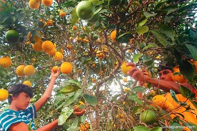 Según el INE, la naranja es el cítrico que registra mayor producción a nivel nacional.