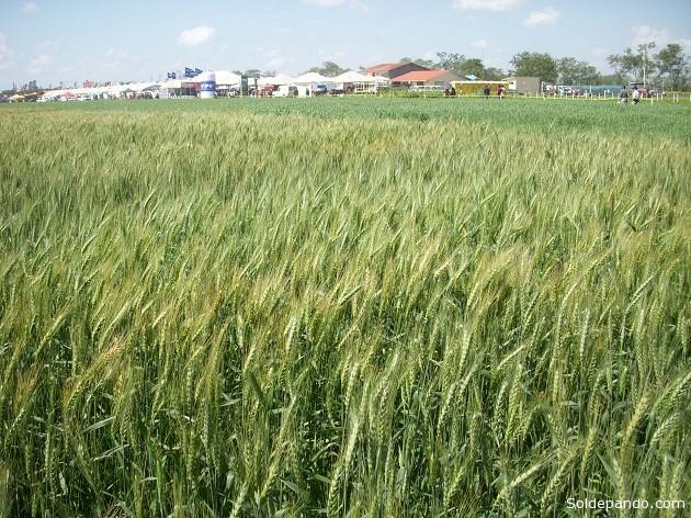 En Bolivia, según datos del INE, se cuenta con 130.476  hectáreas de cultivo de trigo. | Foto. Sol de Pando